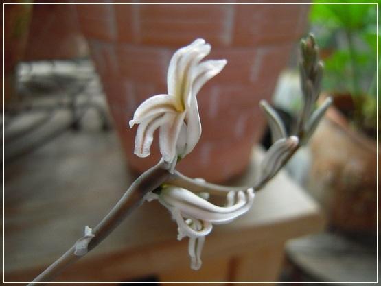 オブツーサの花開花 (2)