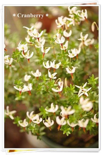 クランベリーの花開花