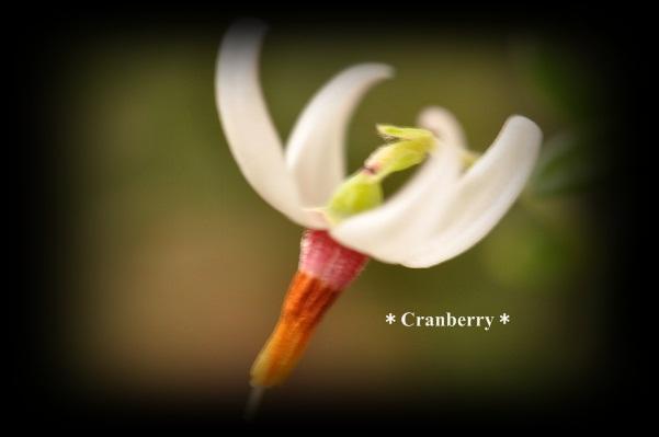 クランベリーのお花