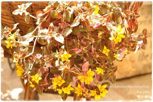 リシマキア シューティングスターのお花開花