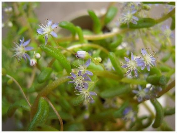 セダム・カウルレアの花 (2)