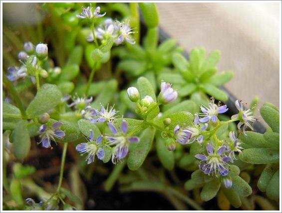 セダム・カウルレアの花 (3)