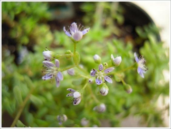 セダム・カウルレアの花 (4)
