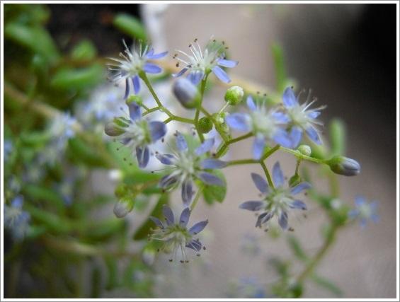 セダム・カウルレアの花 (5)