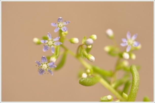 セダム・カウルレアの花