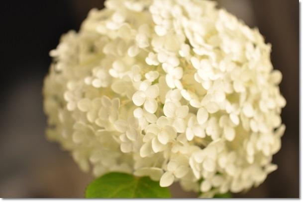アナベル最後のお花 2013・6月30日
