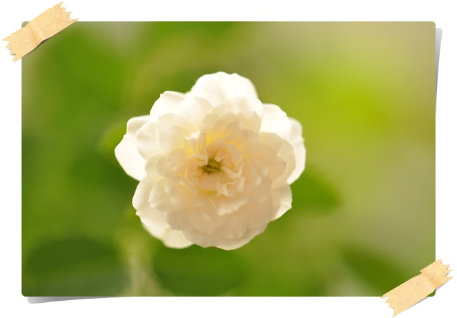 ミニバラ・グリーンアイス2番花 2013・7月29日