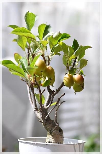 姫リンゴ (3)