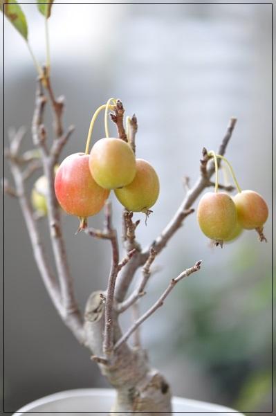 姫リンゴ 2013・9月24日