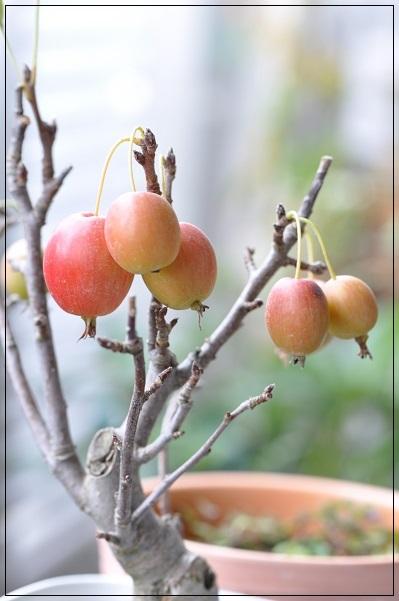 姫リンゴ 10月18日