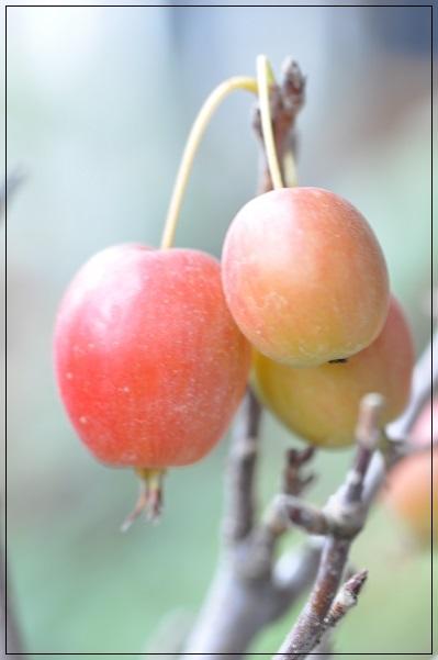 姫リンゴ 10月18日 (2)