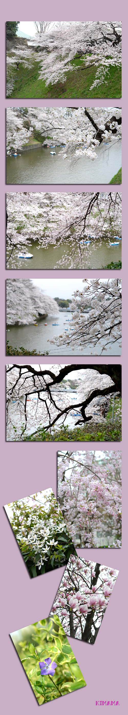3月23日桜2