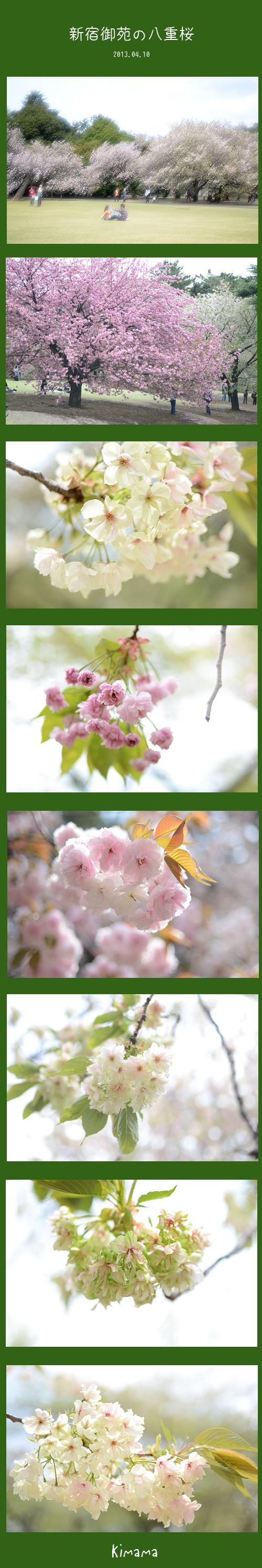 4月10日八重桜1