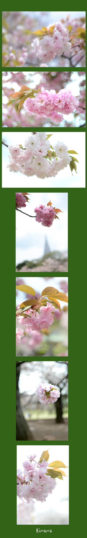 4月10日八重桜2
