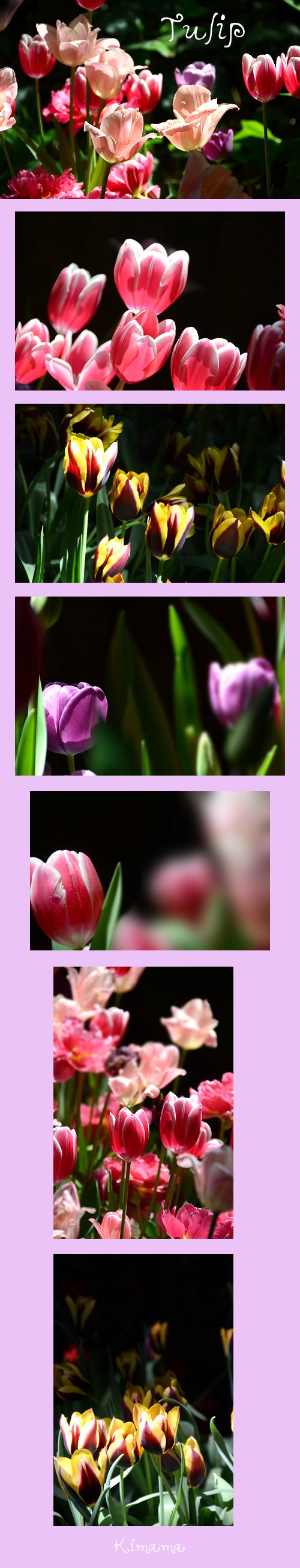 4月13日チューリップ1