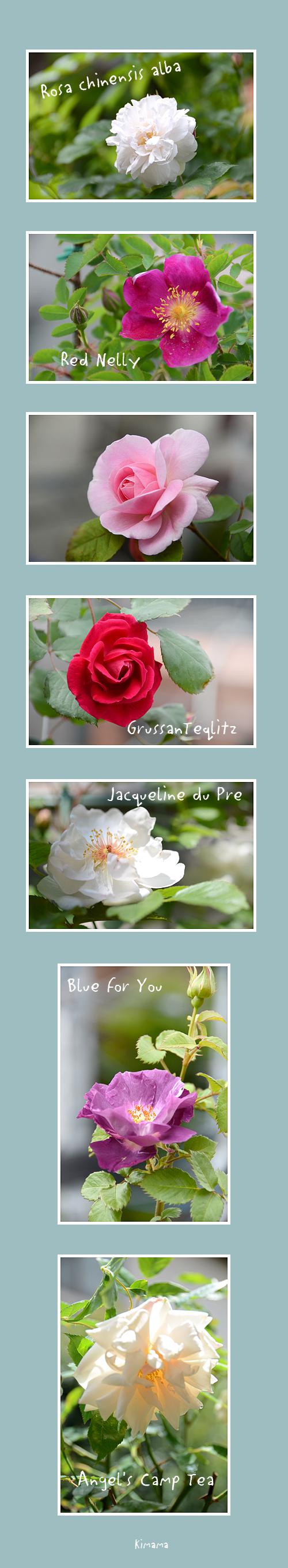 5月2日薔薇2