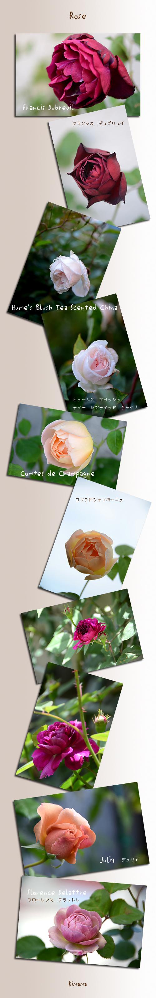 5月5日薔薇
