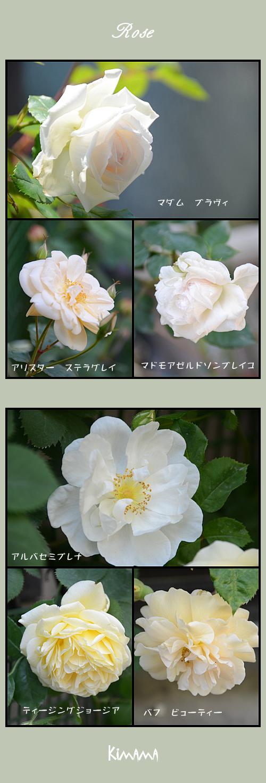 5月10日薔薇1