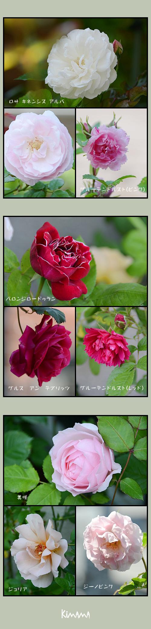 5月10日薔薇2