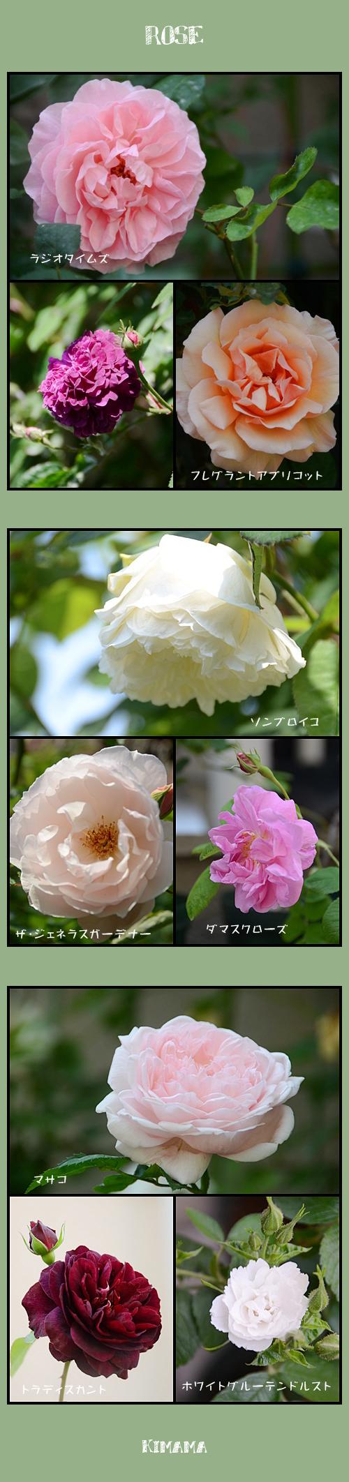 5月14日薔薇1