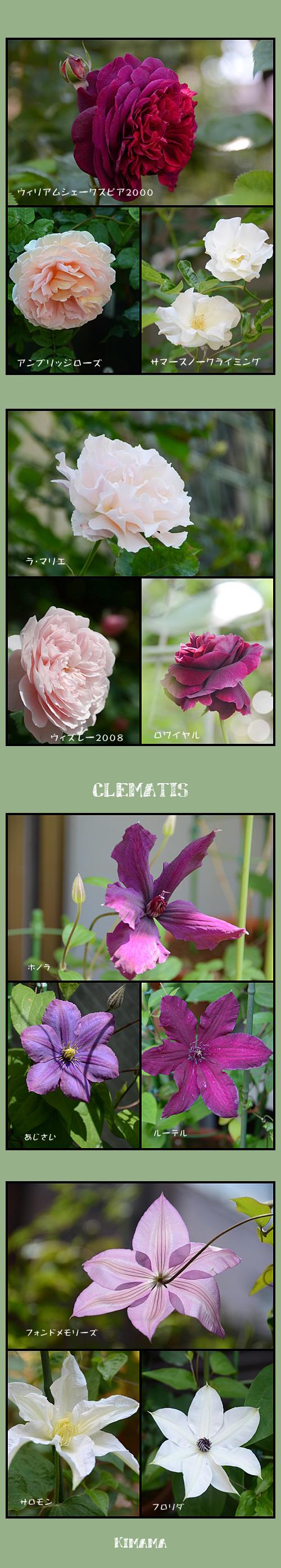 5月14日薔薇2