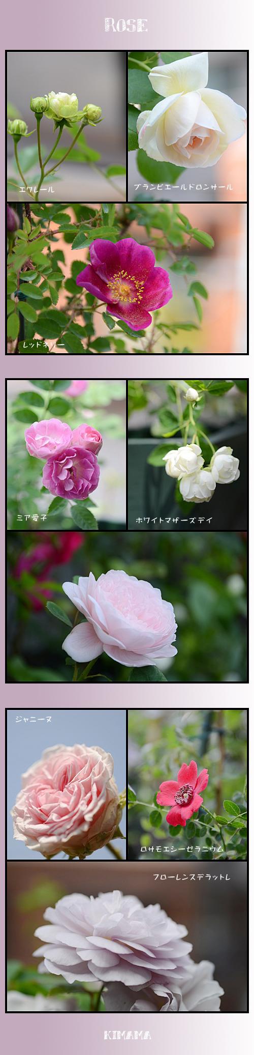 5月16日薔薇1