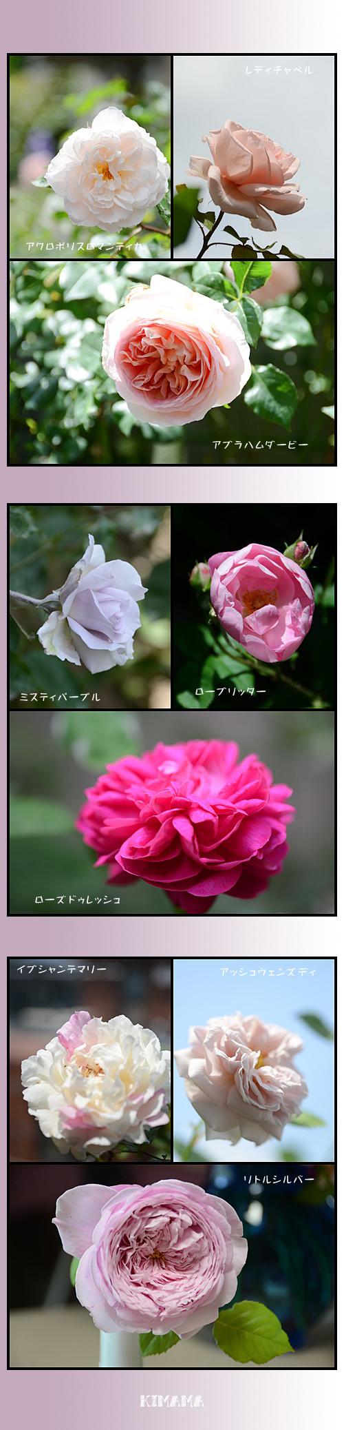 5月16日薔薇2