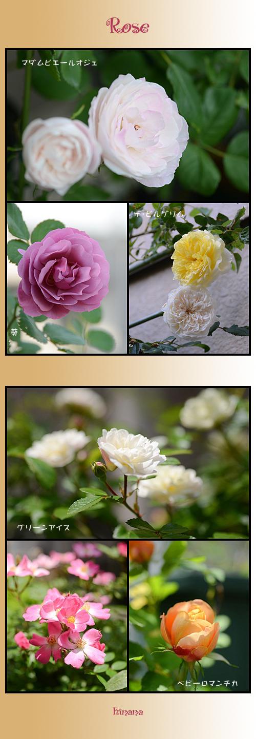 5月26日薔薇1