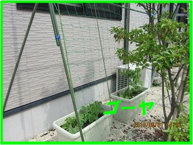 601グリーンカーテン作り ブログ