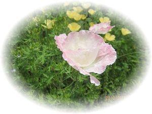 602 薔薇1 ブログ