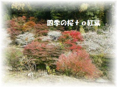 1121四季桜4 ブログ