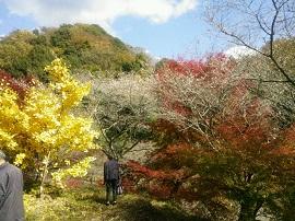 1121四季桜と銀杏 ブログ