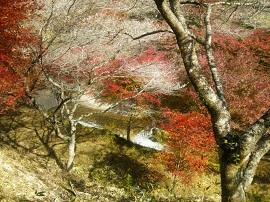1121四季桜と紅葉 ブログ