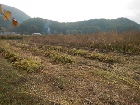 大豆の収穫 (7)