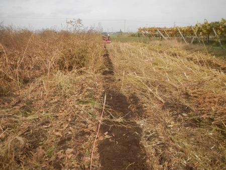 大豆の収穫 (5)