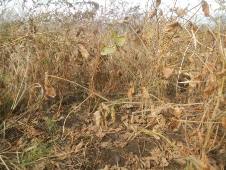 大豆の収穫 (4)