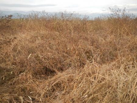 大豆の収穫 (3)