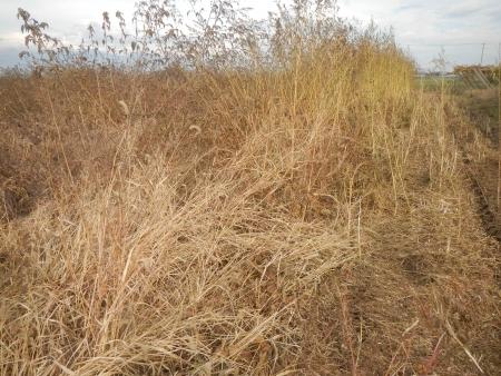 大豆の収穫 (2)