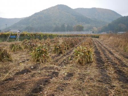 大豆の収穫1 (5)