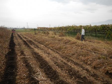 大豆の収穫1 (1)