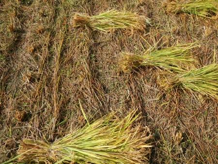 下の田の稲刈り (5)