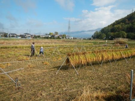 下の田の稲刈り (4)