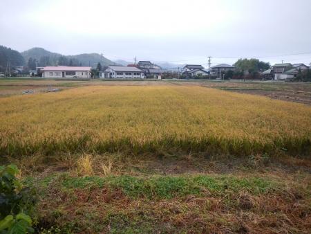 下の田の稲刈り (1)