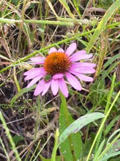 ekinasea flower