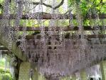 神代植物公園の藤