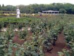 神代植物公園の薔薇(20130429)
