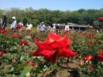 神代植物公園の薔薇(20130505)