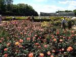 神代植物公園の薔薇(20130512)