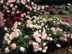 神代植物公園の薔薇(20130518)