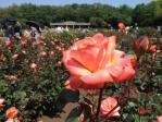 神代植物公園の薔薇(マジョレット)